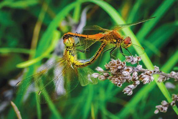 Стрекоза желтая (Sympetrum flaveolum). Спаривание