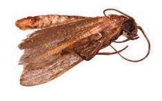 Огневка сухофруктовая (Cadra cautella) (www.pesticidy.ru)