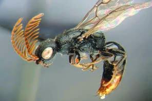 Вид примитивных ос (Bethylidae) (http://doska7.ru)