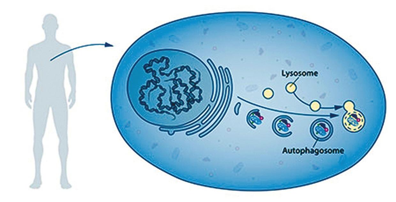 Рис. 1. В клетках нашего организма содержится большое количество различных специализированных субструктур (компартментов). Один из компартментов, лизосомы, содержат ферменты, необходимые для клеточного пищеварения. Аутофагосомы — новый тип везикулярных структур, который был обнаружен в составе клеток. В ходе своего формирования аутофагосома окружает участок клетки, содержащий поврежденные белки или органеллы. Затем происходит слияние с лизосомами, что приводит к перевариванию заключенных в аутофагосому клеточных компонентов. Этот процесс обеспечивает клетки питательными веществами и строительными блоками, которые используются для восстановления и обновления клеточных компонентов (с сайта www.nobelprize.org)