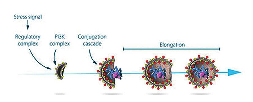 Рис. 2. Осуми изучал функции белков, кодируемые генами, отвечающими за развитие процесса аутофагии. Он определил, какие стрессовые сигналы инициируют аутофагию, и изучил механизмы, посредством которых белки и белковые комплексы контролируют различные стадии формирования аутофагосом (с сайта www.nobelprize.org)
