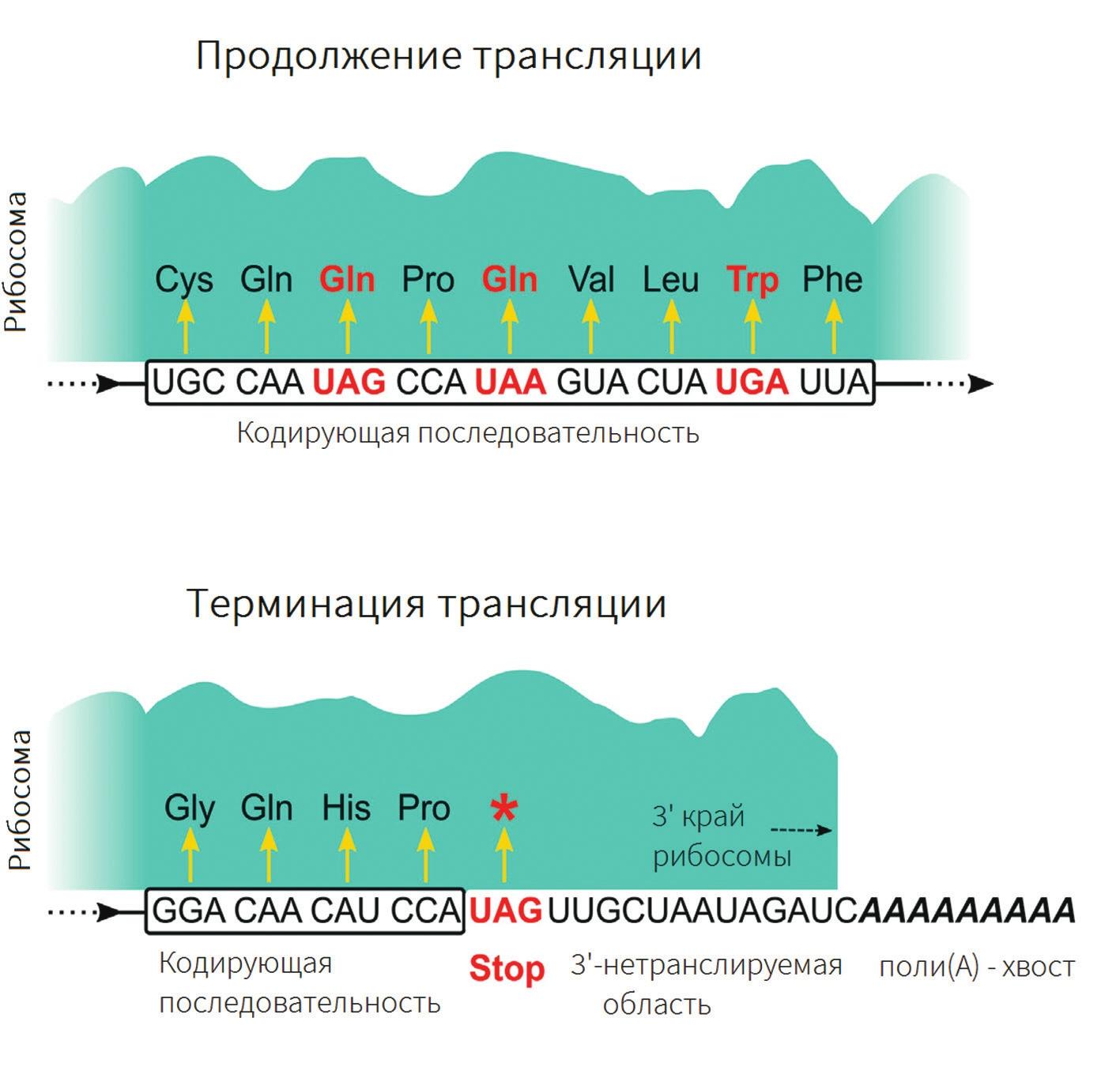 Значение стоп-кодона зависит от его положения в молекуле мРНК относительно поли(А)-хвоста (Swart et al., 2016)