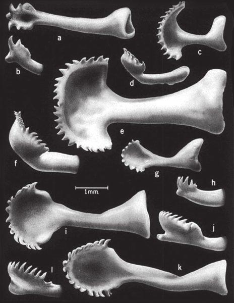 Бакулюмы разных видов сусликов Нового Света (www.taxidermy.net). a, b — скалистый суслик Citellus variegates; c, d — белохвостый суслик Ammospermophilus leucurus; e, f — кольцехвостый суслик С. annulatus; g, h, — голохвостый суслик С. tereticaudus; i, j — суслик Франклина C. franklinii; k, l — колумбийский суслик C. columbianus