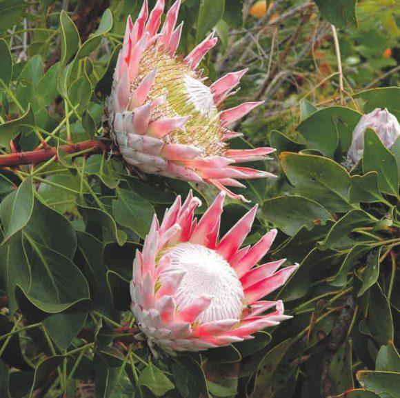 Королевская протея — символ ЮАР