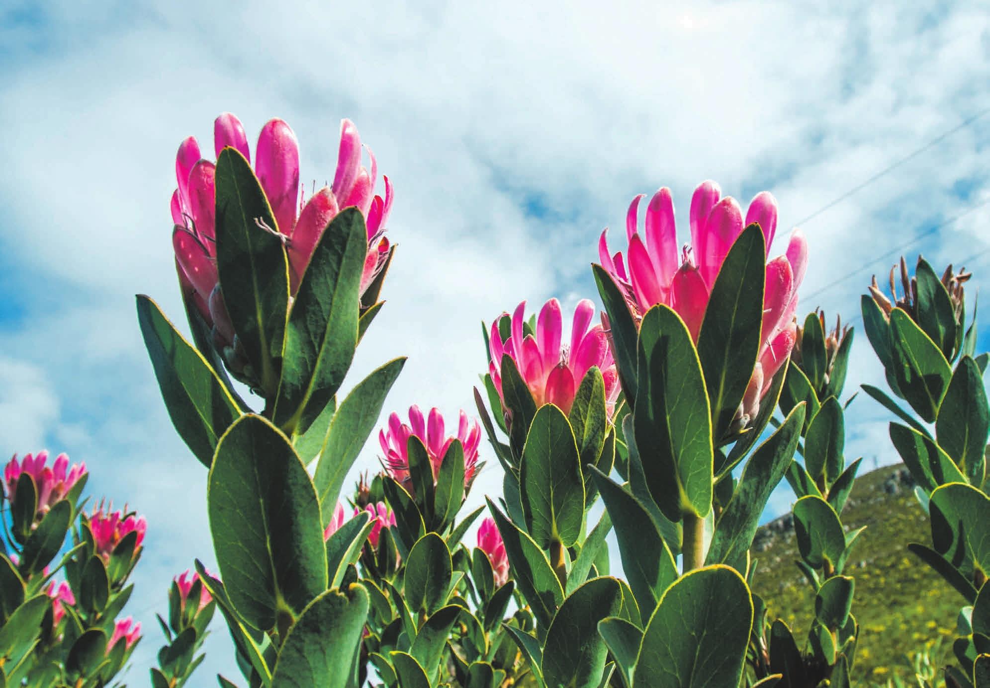 Фернклуф: цветущие протеи