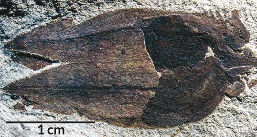 Окаменевшие остатки физалиса Physalis infinemundi — фонарик из сросшихся чашелистиков, на которых прекрасно видны жилки, и ягода внутри (www.sciencenews.org/)