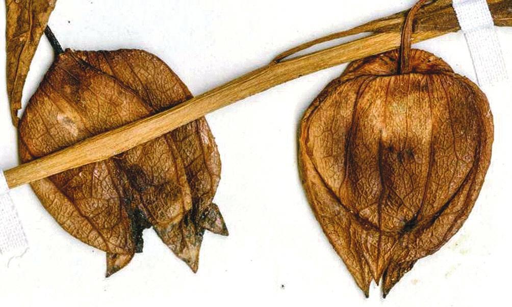 Засушенный образец современного физалиса Physalis angustifolia. Этот вид чрезвычайно напоминает Physalis infinemundi (www.zmescience.com/)