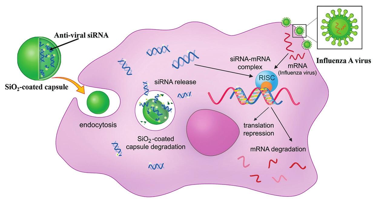 Межклеточная доставка антивирусной микроРНК / М. В. Окилова