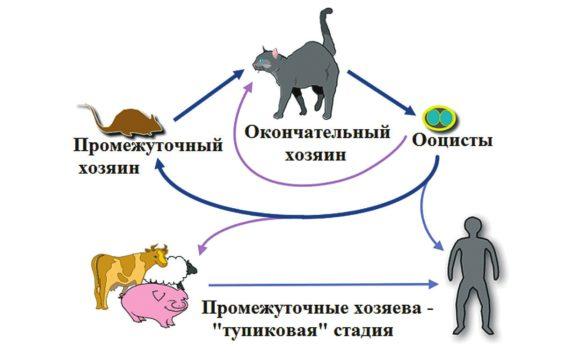 Жизненный цикл токсоплазмы (https://icatcare.org/)