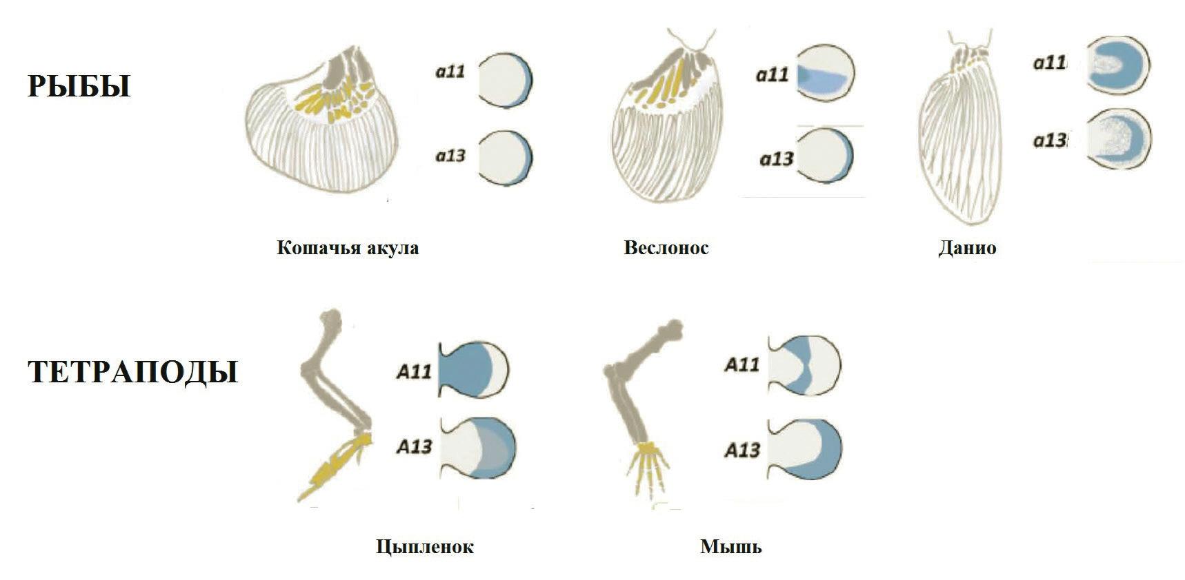 Рис. 1. Гены Ноха11 и Ноха13 вместе экспрессируются в зачатках плавников; в почках конечностей тетрапод их области экспрессии не перекрываются (Leite-Castro et al., 2016, с модификацией)