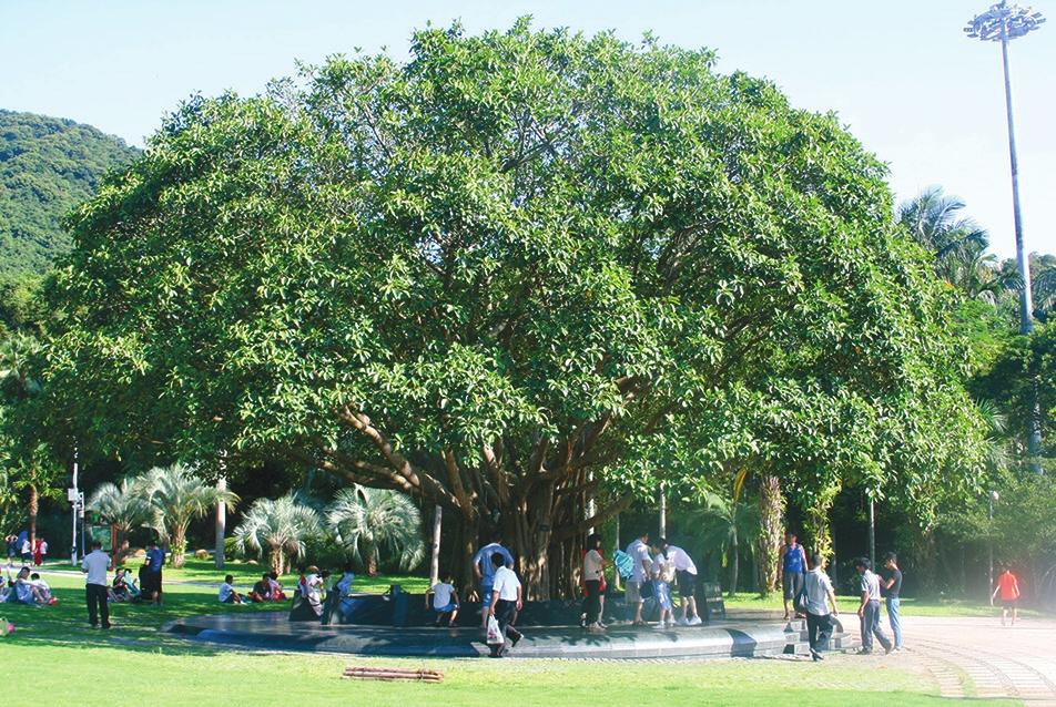 Это дерево посадил Дэн Сяопин