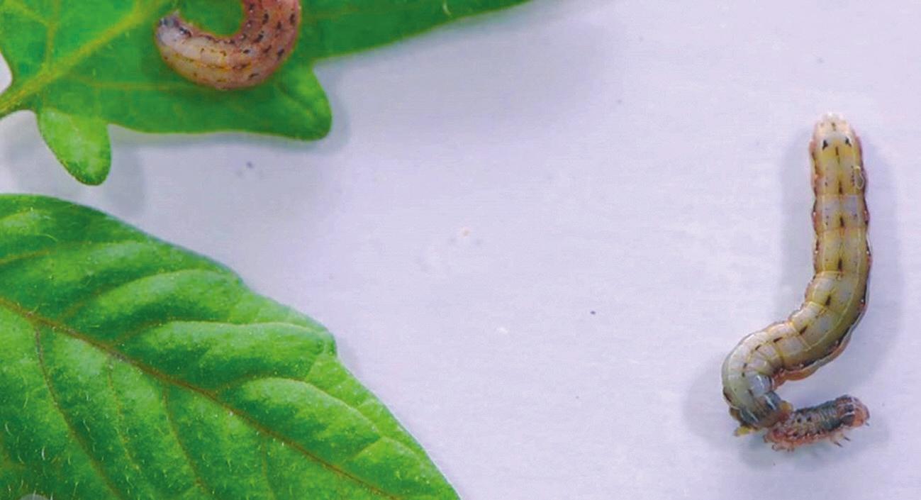 Рис. 1. Когда листья невкусные, гусеницы едят друг друга. Каннибализм начинается с укуса сзади (news.wisc.edu)