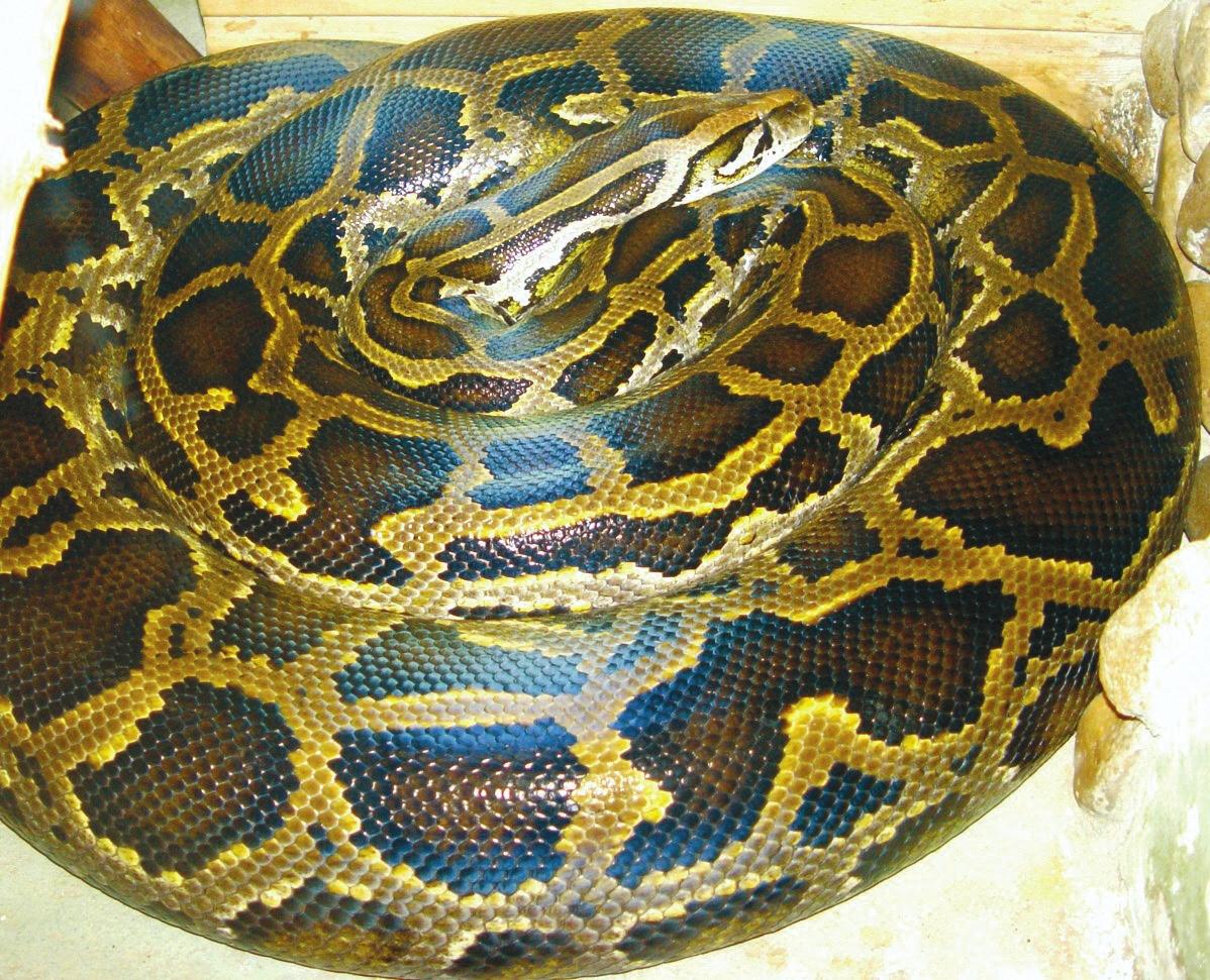 Темный тигровый питон Python bivittatus («Википедия»)