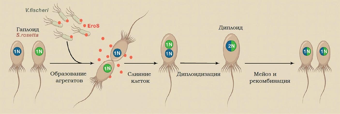 Рис. 3. Бактерии Vibrio fischeri стимулируют половое размножение эукариот [5]