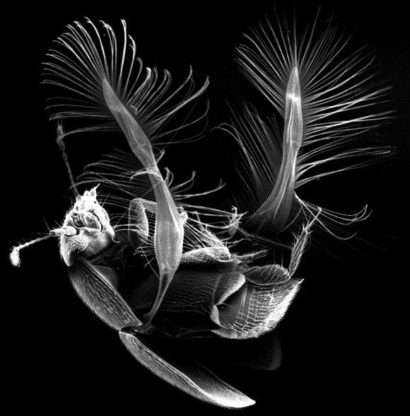 Перистокрылка большегрудая (Acrotrichis grandicollis)