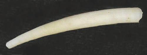 20. Antalis (Dentalium) pretiosum (Sowerby, 1860), Британская Колумбия (carnegiemnh.org)
