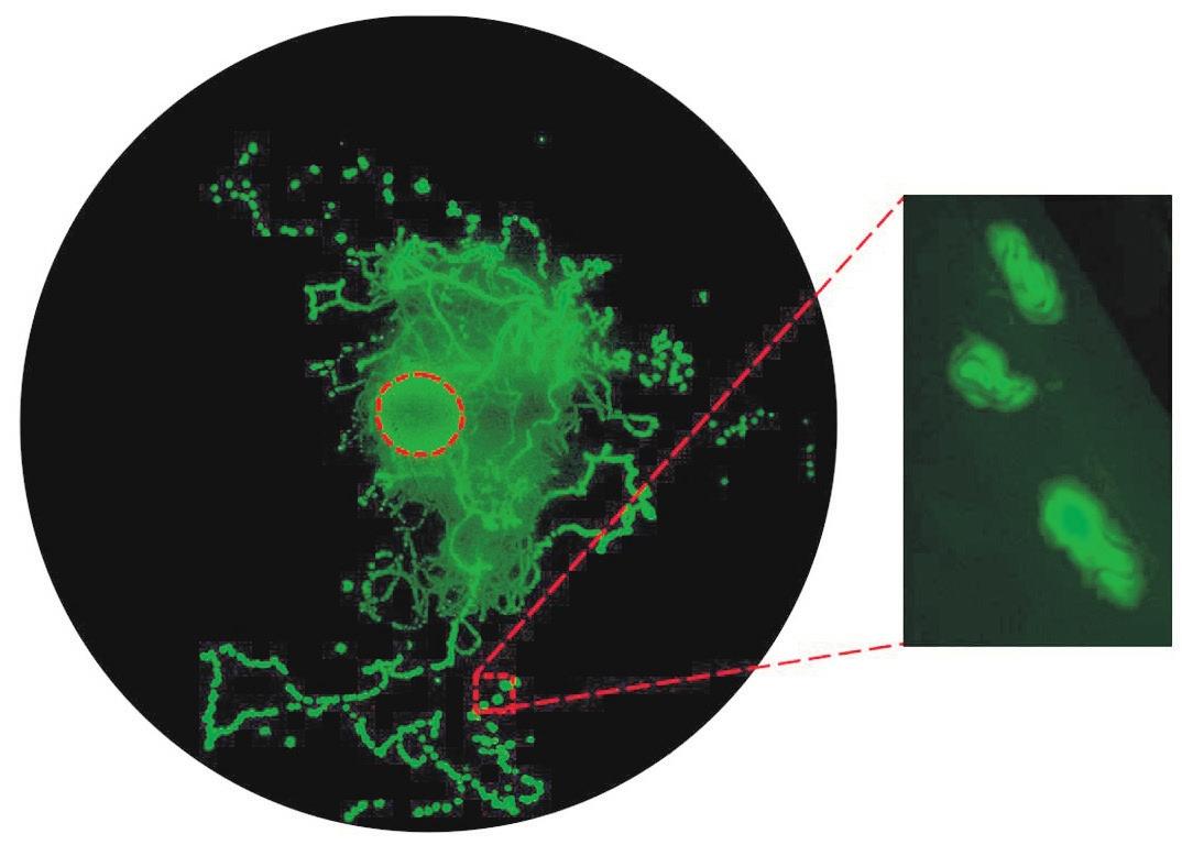 1. Caenorhabditis elegans рассевает бактерии, прилипшие к телу. Нематоду поместили рядом с колонией кишечной палочки, которая обведена красным пунктиром. На фотографии, сделанной спустя четверо суток, видны небольшие колонии, выросшие по пути следования червя. На выноске — черви, посетившие эти колонии [1]