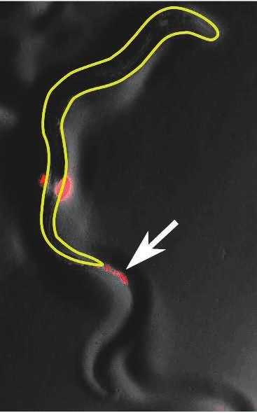 2. C. elegans переваривает не всё, что глотает. Стрелка указывает на фекалии червя, содержащие бактерии [1]