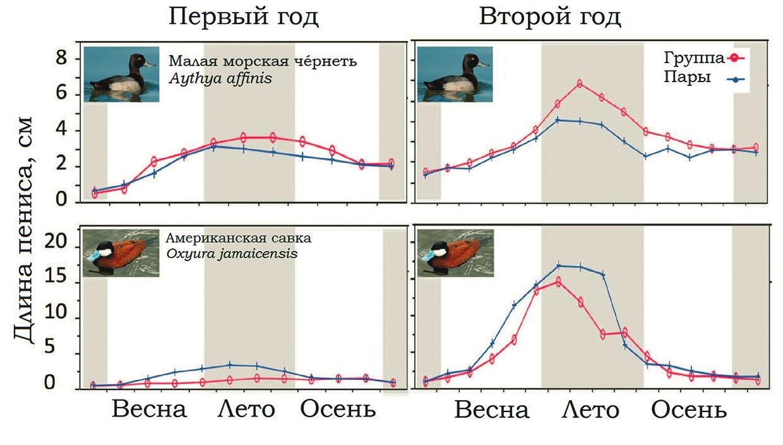 Рис. 3. Размер пениса зависит от уровня конкуренции между самцами [3]