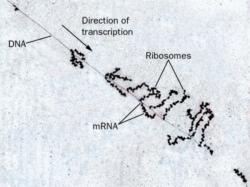 Рис. 1. Транскрипция и трансляция. На электронной микрофотографии видны ДНК и молекулы мРНК, облепленные транслирующими рибосомами (маленькие черные бусинки).