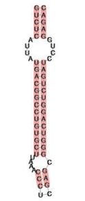 Рис. 2. SECIS-элемент, управляющий чтением стоп-кодона UGA как  селеноцистеинового. Розовым показаны спаренные участки. (Источник – Wikipedia).