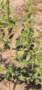Названная в честь В.Я. Лаздина полосатая ящурка (Eremias scripta lasomi) (Таджикистан, фото автора)