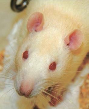 Sprague-DawLey — самая больная в мире крыса... («Википедия»)
