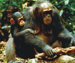 Рис. 3. Шимпанзе разбивает орех коулы, положив его на корень, а в качестве молотка использует толстую ветку. В других группах обезьян молотком может служить камень, а наковальней — бревно (www.cell.com)