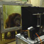 Человекообразные обезьяны постигли теорию разума