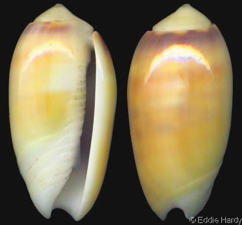 18. Oliva carneola (Gmelin, 1791), 1,0–2,8 см, Филиппины, Индонезия, Микронезия, Полинезия [2]