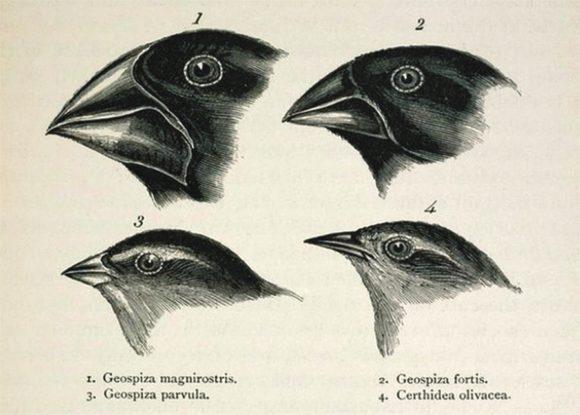"""Рис. 1. Дарвиновы вьюрки. Рисунок из «Путешествия натуралиста вокруг света на корабле """"Бигль""""»"""