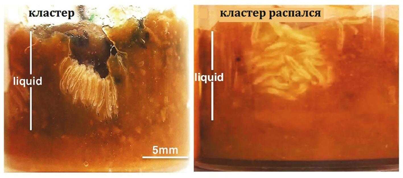 Рис. 1. Личинки Drosophila melanogaster образуют кластер в пробирке с кормом. Его размягченный слой — более темного цвета. Личинки висят вниз головой, дыхательные трубочки торчат в воздушной полости (слева). Кластер может существовать много часов, но быстро распадается, когда прекращается доступ воздуха (справа) [1]
