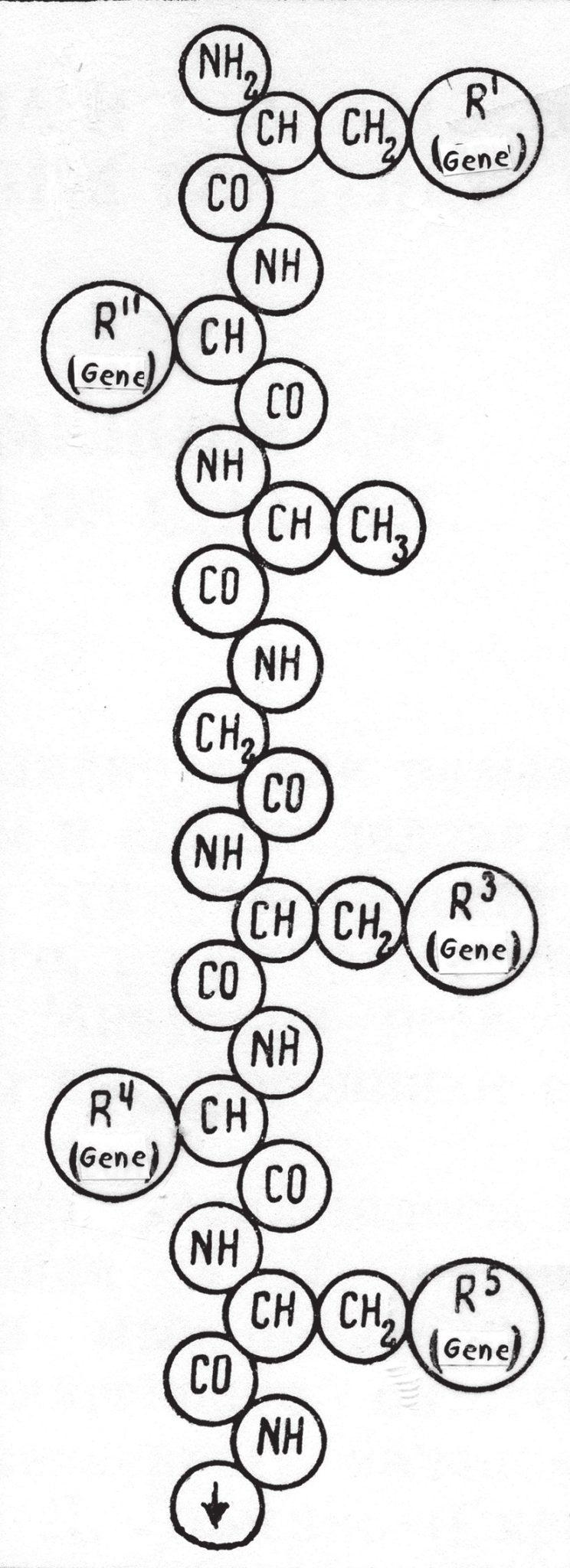 Рис. 2. Рисунок Н. К. Кольцова (1935), иллюстрирующий возможность последовательного соединения множества белковых молекул в гигантскую наследственную молекулу