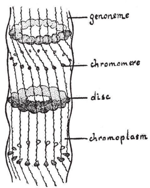 Рис. 3. Рисунок Н. К. Кольцова, показывающий структуру многоцепочечных политенных хромосом, обнаруженных в слюнных железах двукрылых. Впервые опубликован в 1934 году в журнале Science