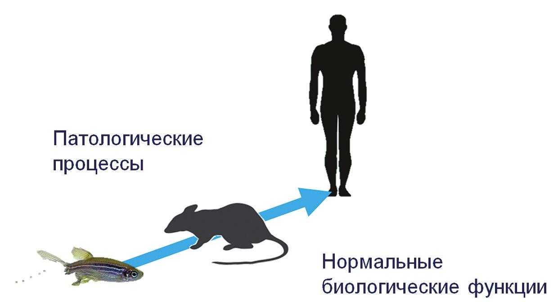Рис. 1. Зебраданио как модельный организм в биомедицинских исследованиях