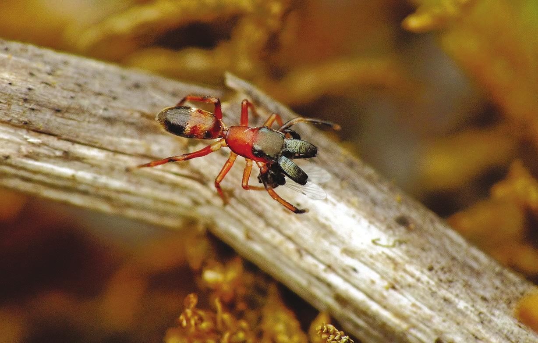 Рис. 1. Паук Myrmarachne formicaria похож на муравья. Даже крупные верхние челюсти (хелицеры) не мешают ему обманывать хищников, так как напоминают зажатую в челюстях добычу (www.npr.org)