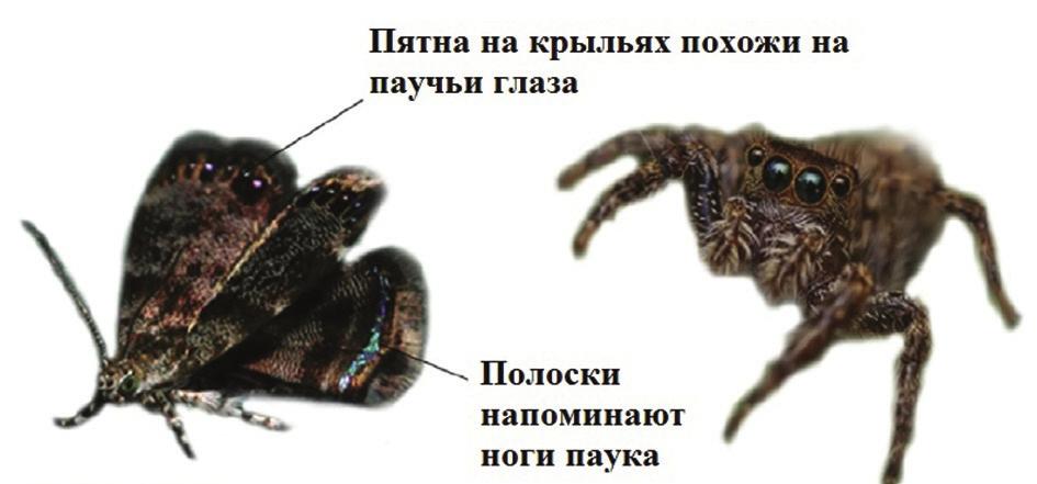 Рис. 3. Моль Brenthia coronigera притворяется пауком-скакуном [4]