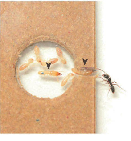 Рис. 2. Модель гнездовой камеры Reticulitermes speratus, в которую пытается проникнуть хищный муравей [2]. Стрелки указывают на солдат