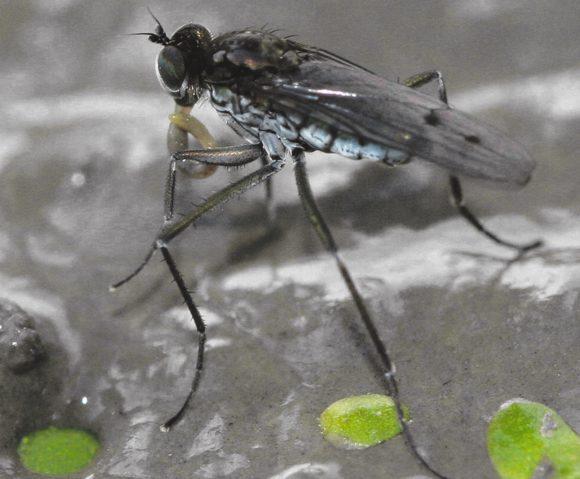1. Hydrophorus заглатывает пойманную личинку (это другой вид, Hydrophorus borealis, но H. praecox охотится так же)