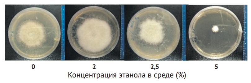 Рис. 3. Грибы — симбионты жуков прекрасно чувствуют себя в спиртовой среде [1]