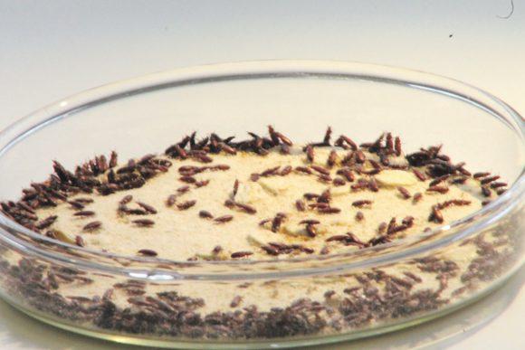 Рис. 1. Сто жуков в одной чашке— популяция (matthewgagelab.com)