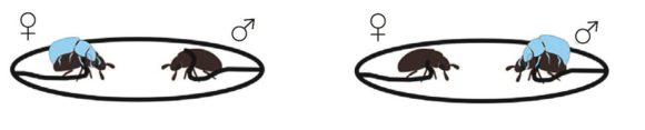 Рис. 2. Момент истины. Самец и самка на привязи, тест-объект— выбирает. Может предпочесть самку, а может и самца [1]
