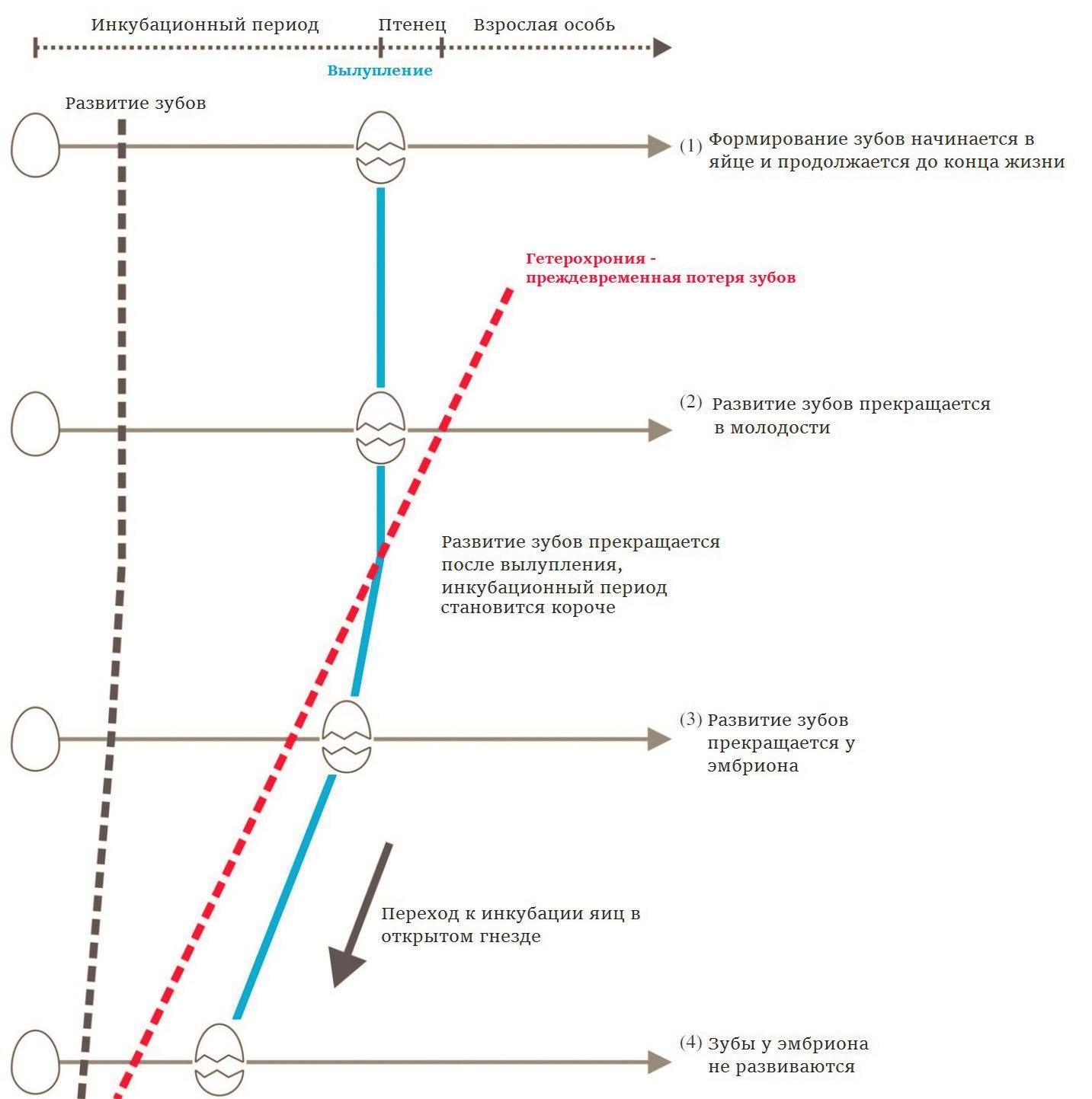 Рис. 1. Переход к беззубости совершался в четыре этапа и привел к существенному укорочению инкубационного периода (Yang T.-R. et al., 2018)