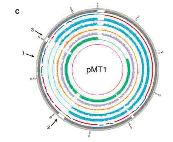 Рис. 2. Схема плазмиды pMT1 (кольцевая внехромосомная ДНК) в разных штаммах Y. pestis. Кольца разных цветов обозначают разные штаммы: голубые — RISE505 и RISE509 бронзового века; оранжевое — возбудитель Юстиниановой чумы; сиреневое — возбудитель «черной смерти»; зеленое — современные штаммы. Стрелка 1 указывает на положение гена ymt, стрелки 2 и 3 обозначают начало и конец участка, отсутствующего у бактерий бронзового века [1]