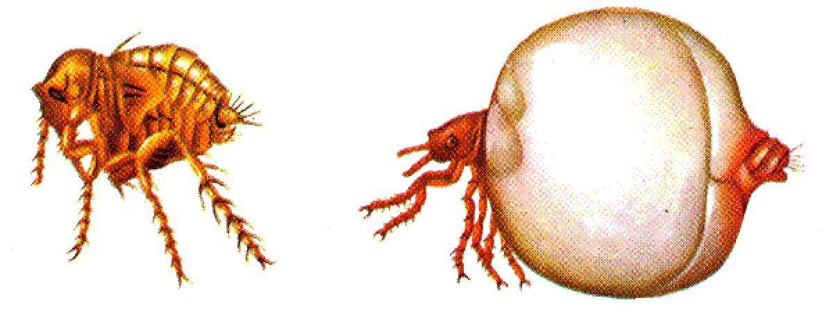 Рис. 3. Блоха T. penetrans до и после внедрения, с бразильского сайта aneste.org/entomologia.html