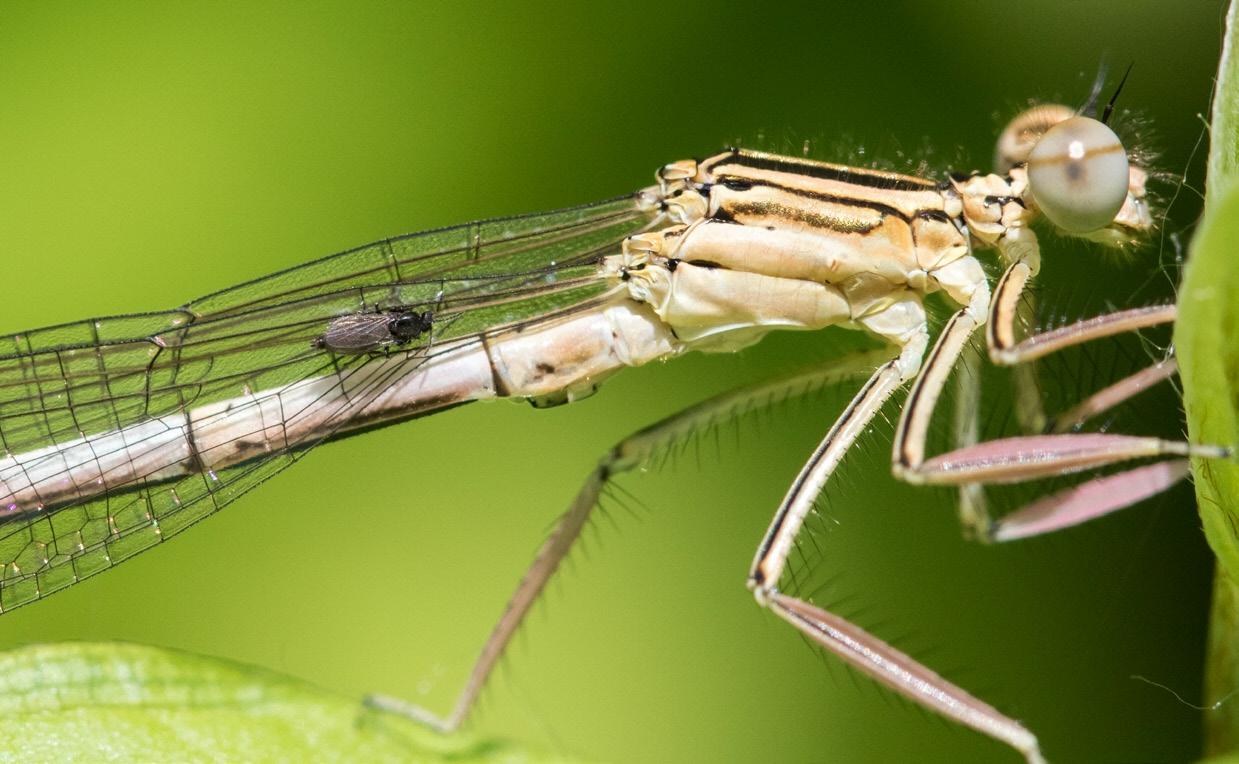 Рис. 5. Forcipomyia кусает стрекозу. Фото Hallo Christian (makro-treff.de/de/taxonomy/term/1475)