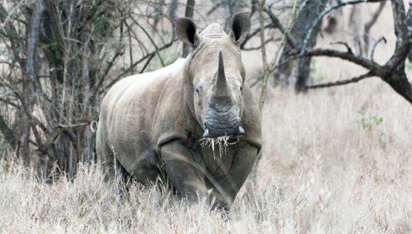 Белый носорог из провинции Квазулу-Наталь (ndabaonline.ukzn.ac.za)