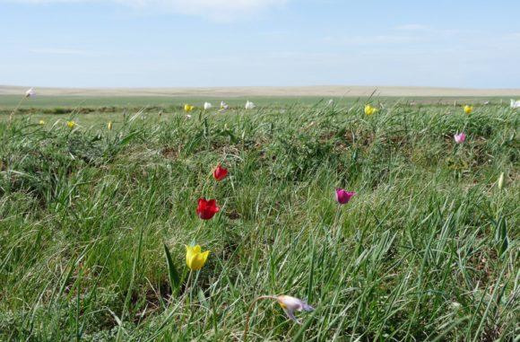 Тюльпаны Шренка (Tulipa suaveolens). Вид занесен вКрасную книгу России