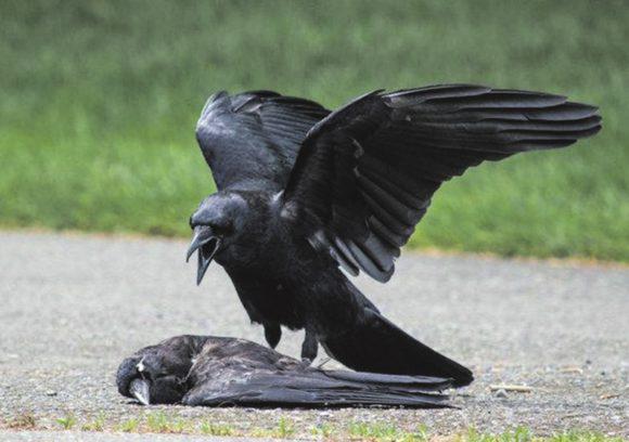Рис. 1. Американский ворон Corvus brachyrhynchos подает сигнал тревоги, стоя над мертвым  сородичем (rstb.royalsocietypublishing.org)