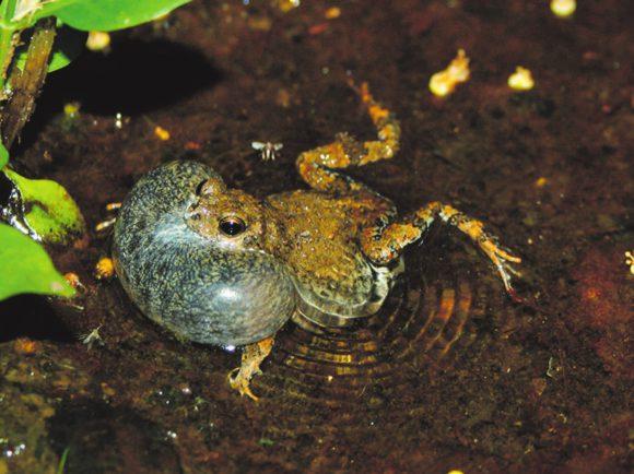 Рис. 1. Самец тунгарской лягушки Physalaemus pustulosus (phys.org)